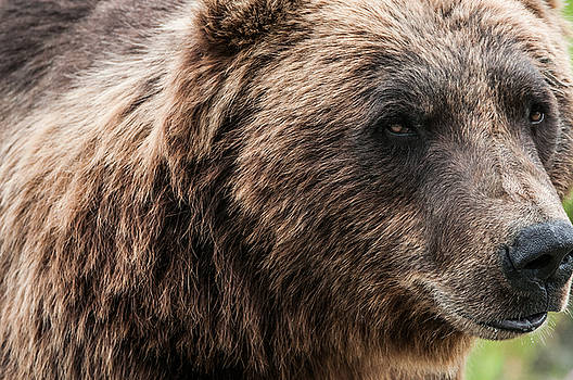 North American Grizzly by Peak Photography by Clint Easley