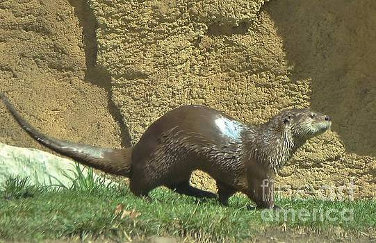 North American River Otter             Pottawattomee Zoo         Indiana      Spring by Rory Cubel