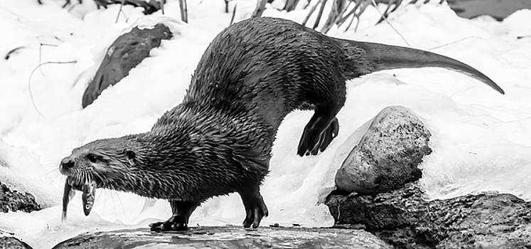 North American River Otter on the Move by Tracy Winter