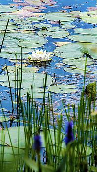 onyonet  photo studios - North American White Water Lily