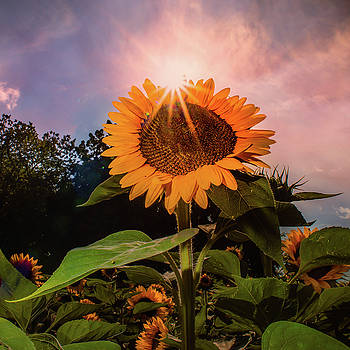 North Fork Sunflower by John Randazzo