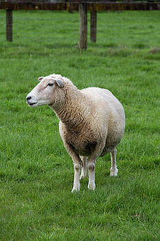 North Island sheep in profile by Beth Partin