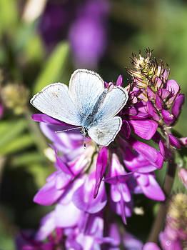 Ian Johnson - Northern Blue Butterfly