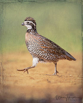 Northern Bobwhite - 6122,ST by Wally Hampton