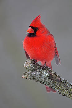 Northern Cardinal 10 by Timothy McIntyre