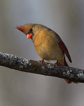 Northern Cardinal 4 by Timothy McIntyre