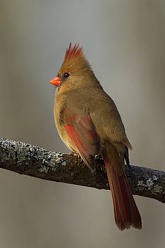 Northern Cardinal 5 by Timothy McIntyre