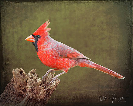Northern Cardinal - 6419,ST by Wally Hampton