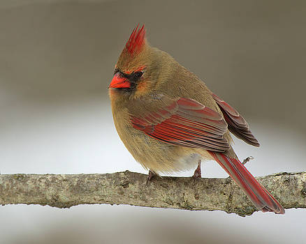 Northern Cardinal 7 by Timothy McIntyre