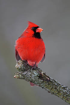 Northern Cardinal 9 by Timothy McIntyre