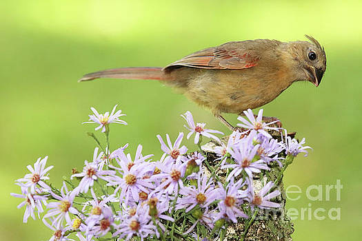 Northern Cardinal Among Purple Flowers by Max Allen