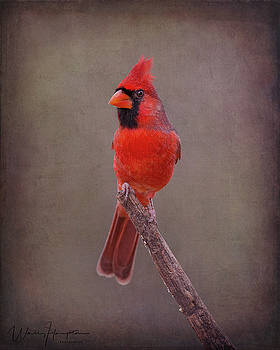 Northern Cardinal - 6338,ST by Wally Hampton