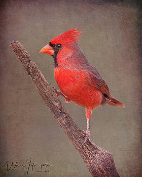 Northern Cardinal - 6359,ST by Wally Hampton