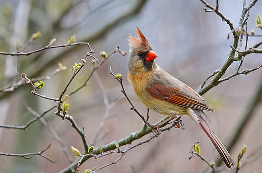 Christine Kapler - Northern Cardinal-Female