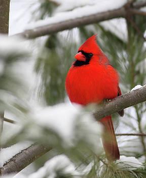 Northern Cardinal by Gary Michael Flanagan