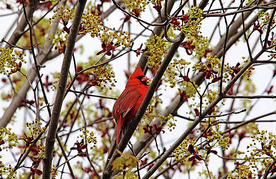 Northern Cardinal In Spring Maple Tree by Debbie Oppermann
