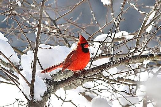 Northern Cardinal in the snow by Linda Crockett
