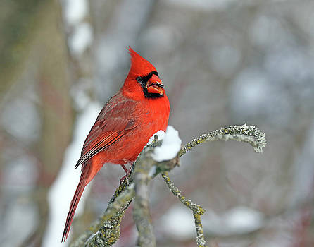 Northern Cardinal by Jim Nelson