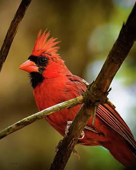 Northern Cardinal  Male by Bob Orsillo