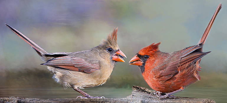 Northern Cardinal Mates for Life by Bonnie Barry