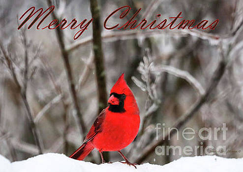 Sandra Huston - Northern Cardinal - Merry Christmas