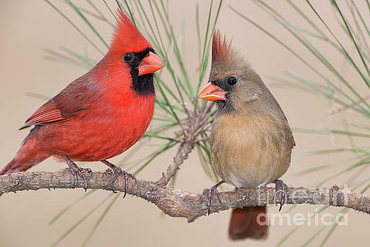 Northern Cardinal Pair in Pine Tree by Bonnie Barry