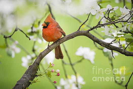 Oscar Gutierrez - Northern Cardinal perched in springtime apple tree