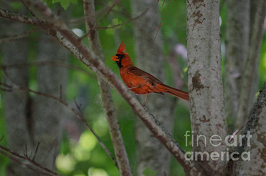 Dale Powell - Northern Cardinal Songbird