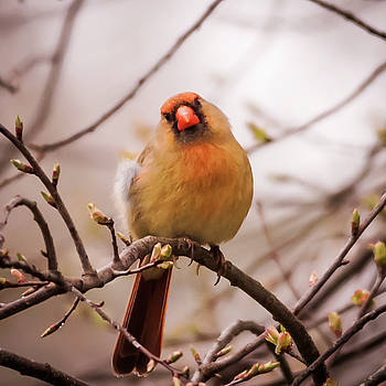 Terry DeLuco - Northern Female Cardinal Pose