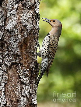 Northern Flicker on the hunt by Myrna Bradshaw