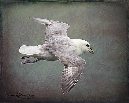 Northern Fulmar - 1717,ST by Wally Hampton