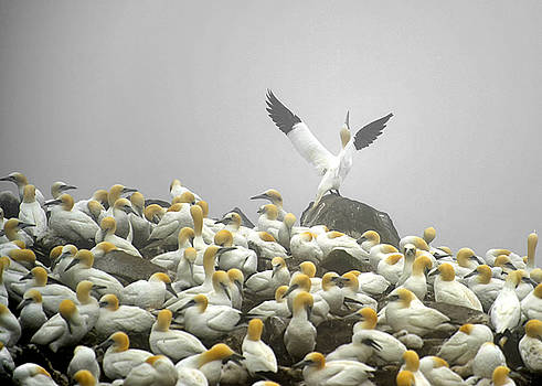 Northern Gannet by Claudio Bacinello