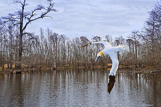 Northern Gannett in the marsh  by Bill Perry