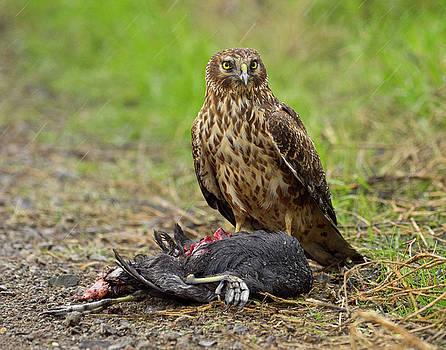 Northern Harrier by Doug Herr