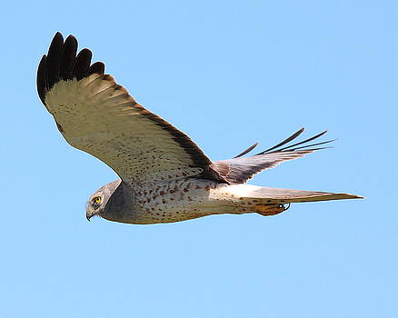 Wingsdomain Art and Photography - Northern Harrier in flight