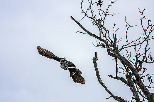 Gary Hall - Northern Hawk Owl in Flight