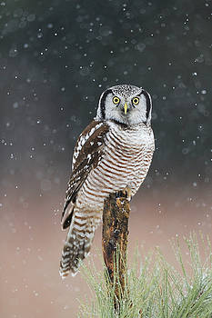 Northern Hawk Owl  by Scott  Linstead