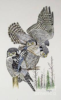 Northern Hawk Owl by Scott Rashid