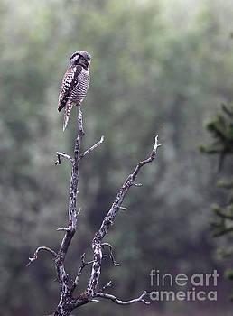 Northern Hawk Owl by Stephen Schwiesow