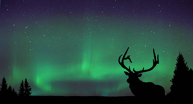 Northern Lights and Elk by Angela Boyko
