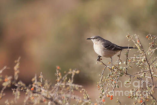 Northern Mockingbird on a branch  by Ruth Jolly