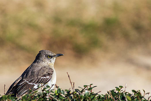 Northern Mockingbird Sitting on Top of a Hedge by Randy Bayne