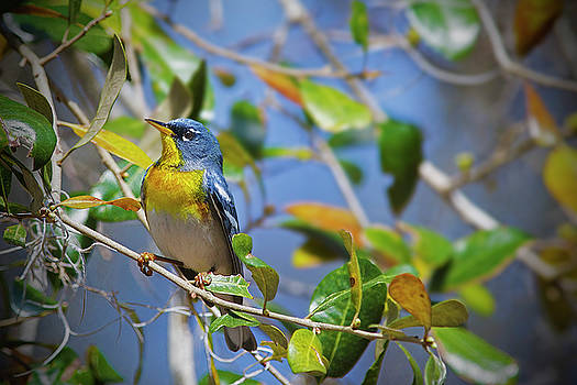 Northern Parula on Tree Branch by TJ Baccari