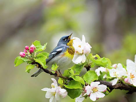 Northern Parula Songbird Singing Amongst Flowers by Scott Leslie