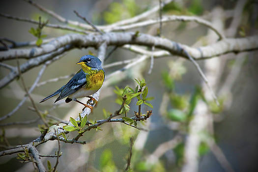 Northern Parula with one Eye on Me by TJ Baccari