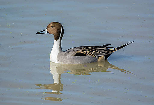 Loree Johnson - Northern Pintail Drake