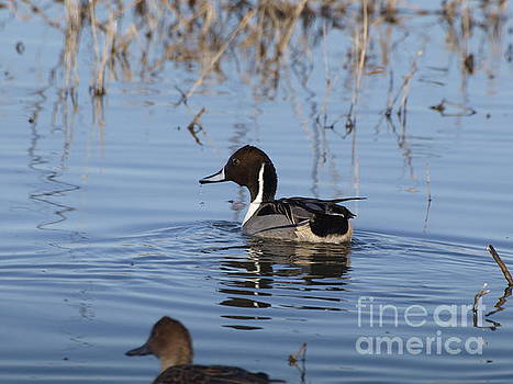 Northern Pintail glides across water by P W
