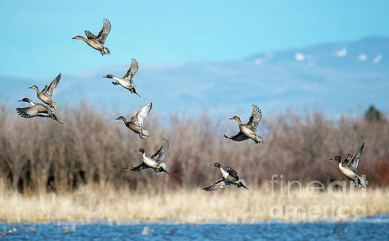 Northern Pintail Take-off by Mike Dawson