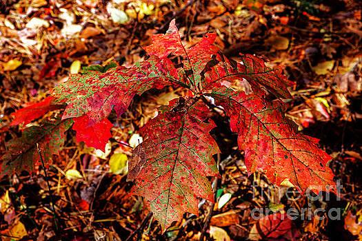 Paul Mashburn - Northern Red Oak In Fall