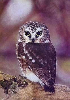Diane Kurtz - Northern Saw-whet Owl
